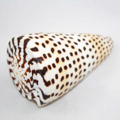 Tiger Spiral Shell